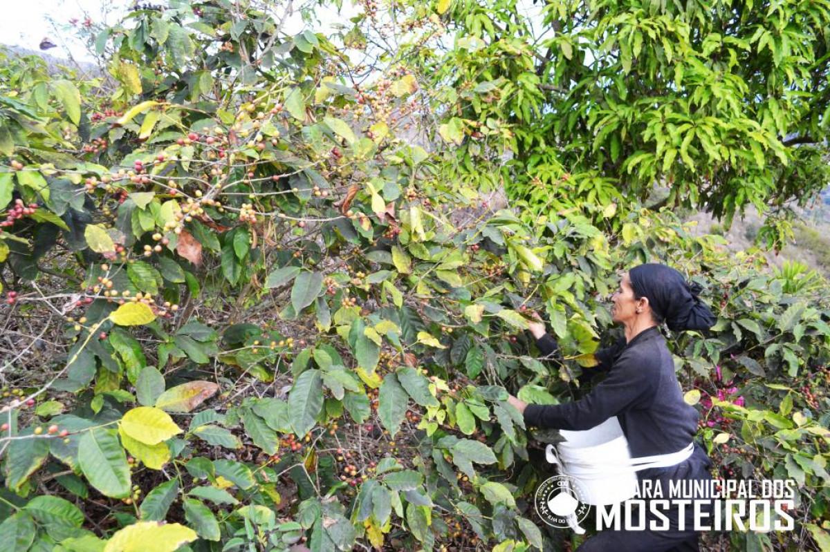 Agricultura: Aberta temporada de colheita do café